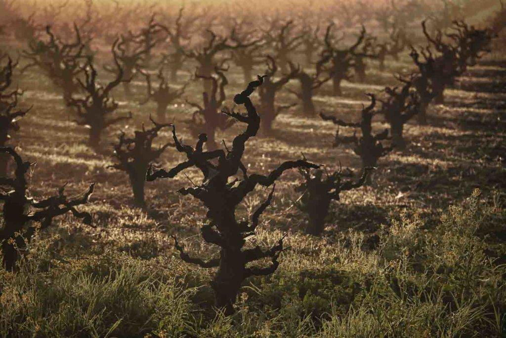Fog on The Vines in Lodi