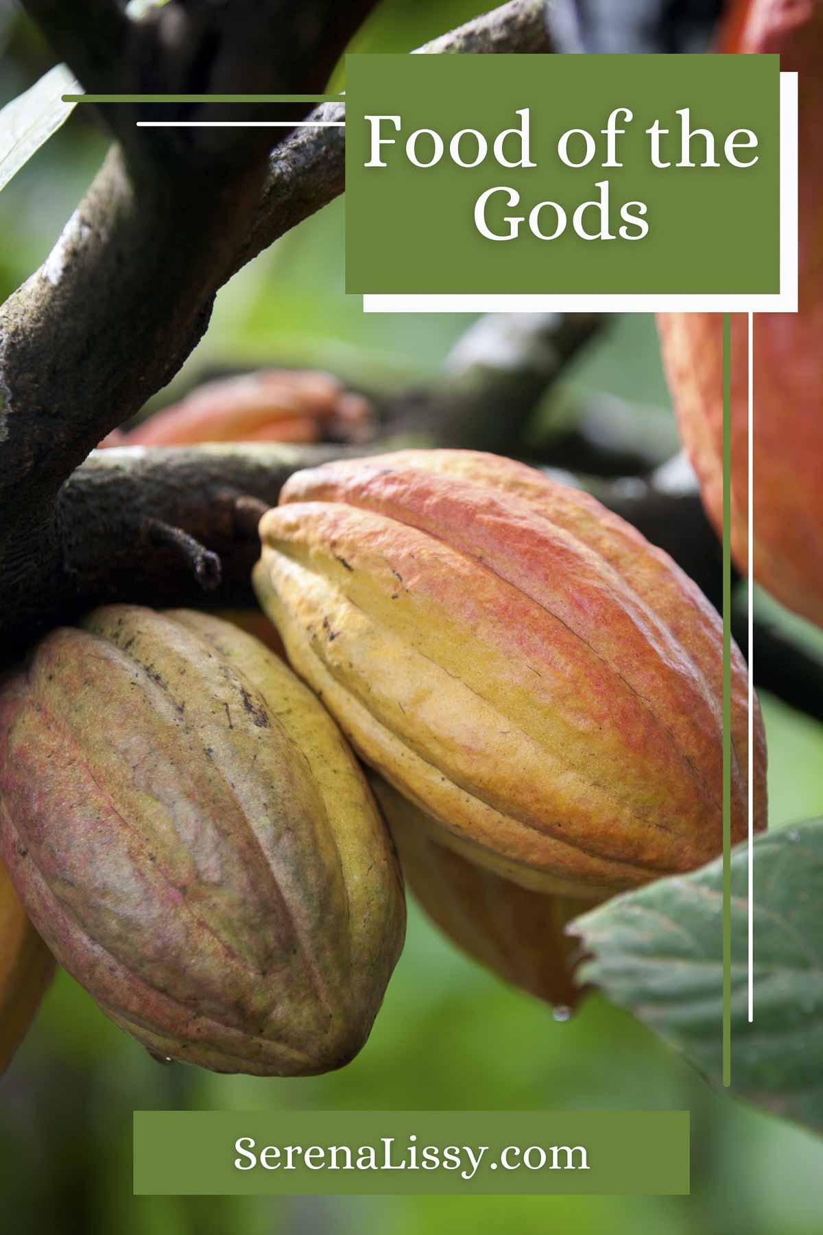 Cacao Tree Pods
